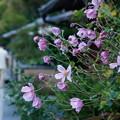 写真: 秋花の見送り