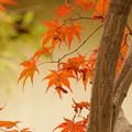 紅葉に松葉