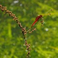 五月の赤とんぼ