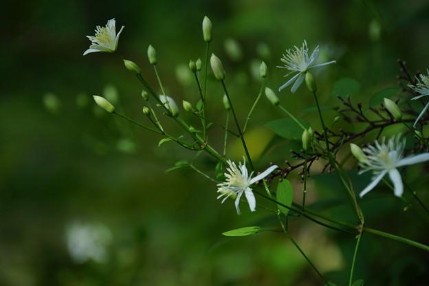 木陰の小さい花