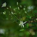 Photos: 木陰の小さい花
