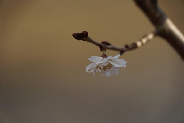 Photos: 冬咲くさくら