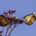 青空のカバマダラ蝶