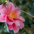 Photos: 山茶花の気品