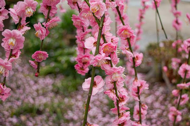 枝垂梅の庭