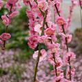 Photos: 枝垂梅の庭