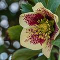 Photos: うつむいて咲く