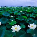 写真: 蓮の花