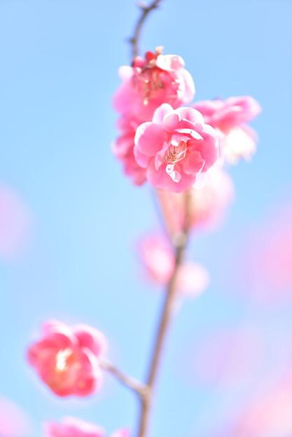 ピンクの梅2