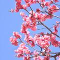 ピンクの梅4