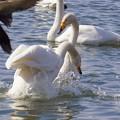 白鳥ハート (402)