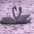 白鳥ハート (428)
