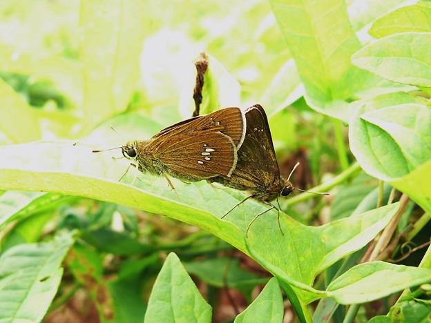 オオチャバネセセリ (5)