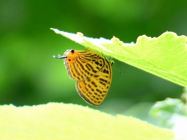ウラナミアカシジミ (1)