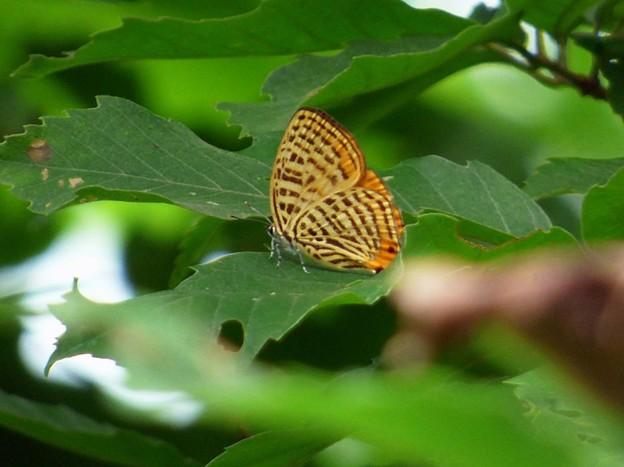ウラナミアカシジミ (5)