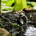 アカゲラ幼鳥 (5)