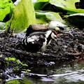 アカゲラ幼鳥 (7)