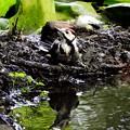 アカゲラ幼鳥 (9)