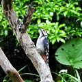 アカゲラ幼鳥 (2)