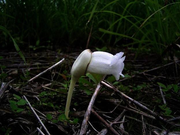 純白オオナンバンギセル (1)