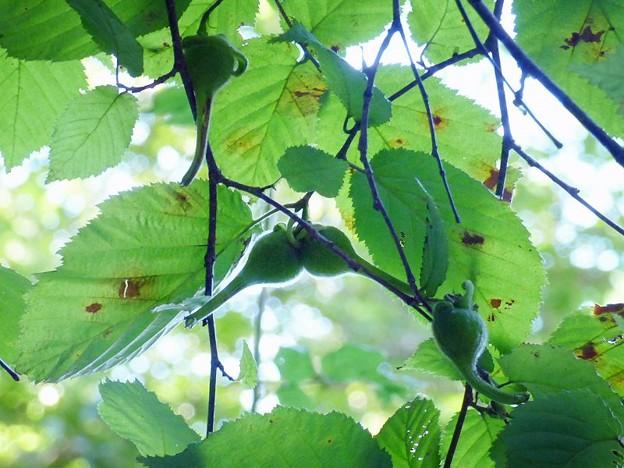 ツノハシバミ (1)