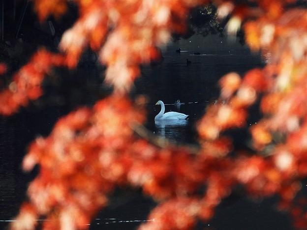 白鳥 (9)