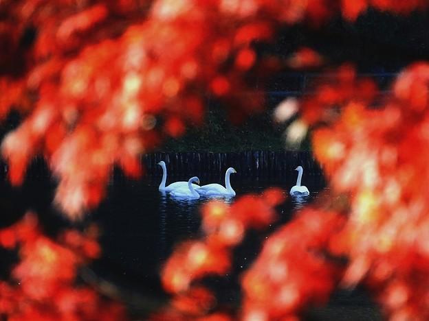 白鳥 (10)