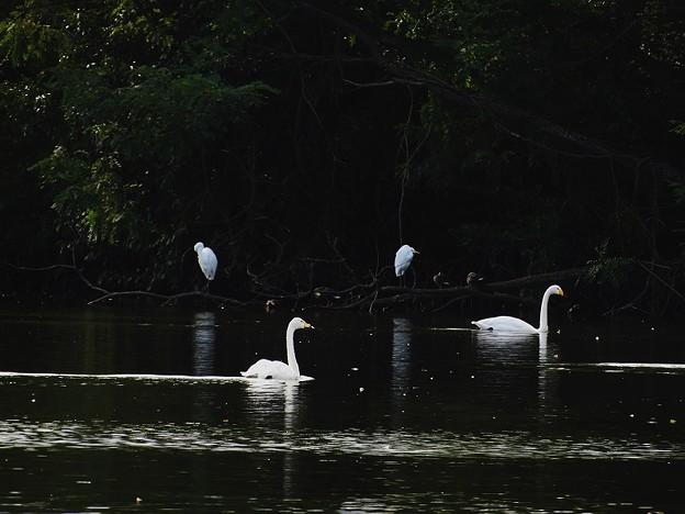 白鳥 (11)
