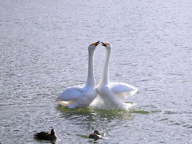 白鳥ハート (2)