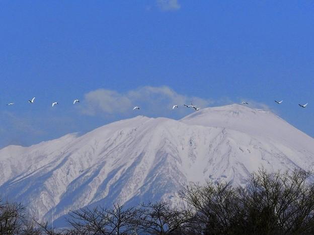 白鳥、岩手山 (6)