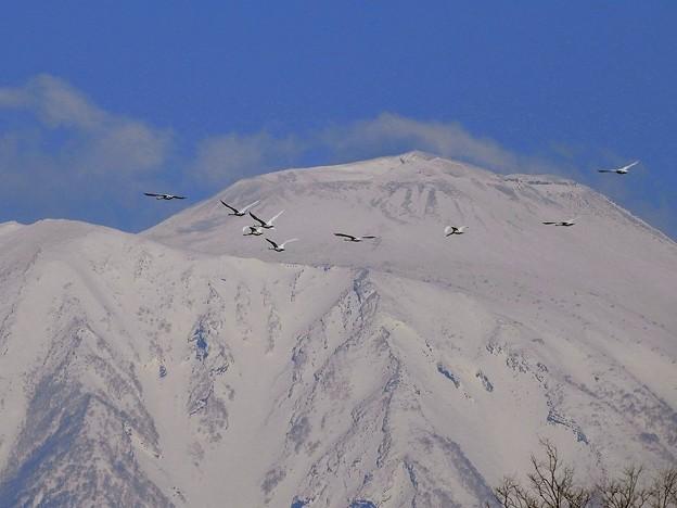 白鳥、岩手山 (9)