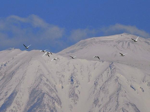 白鳥、岩手山 (10)