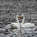 白鳥ハート (1)