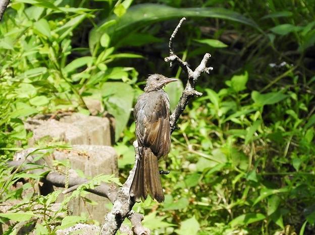 ヒヨドリ幼鳥 (1)