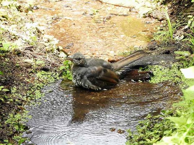 ヒヨドリ幼鳥 (4)
