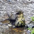 キビタキ幼鳥 (1)