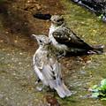 キビタキ幼鳥 (11)