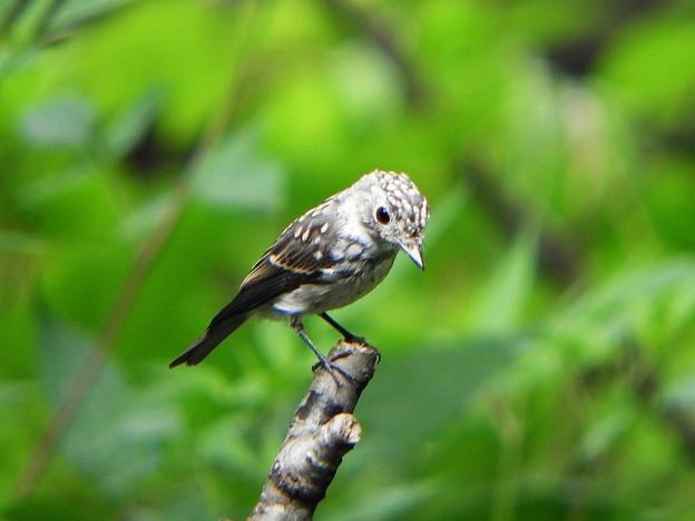 コサメビタキ幼鳥 (1)