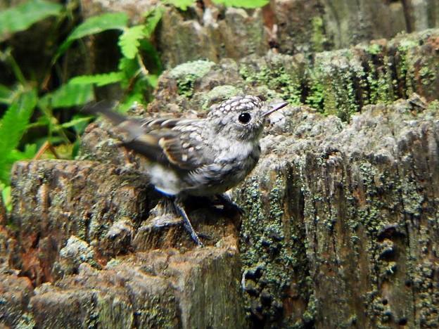 コサメビタキ幼鳥 (4)