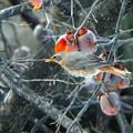 ハチジョウツグミ (4)