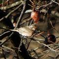 ハチジョウツグミ (2)