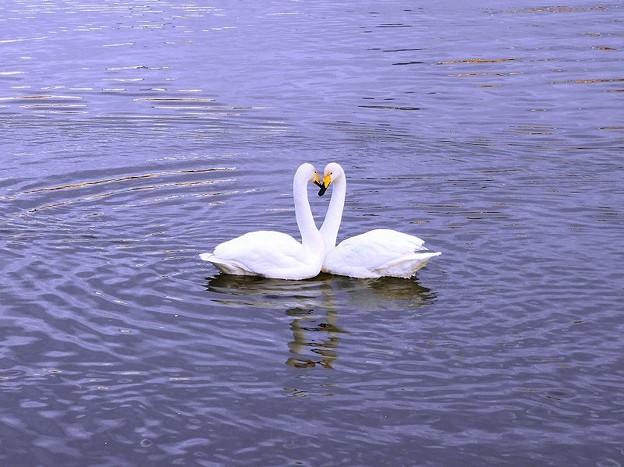 白鳥ハート (3)