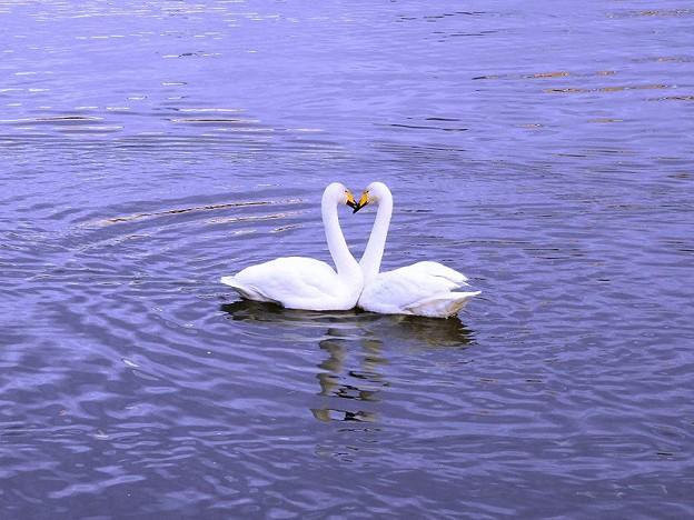 白鳥ハート (4)
