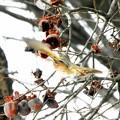 ハチジョウツグミ (3)