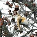 ハチジョウツグミ (5)