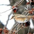 ハチジョウツグミ (7)
