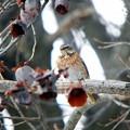 ハチジョウツグミ (10)
