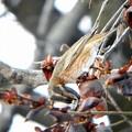 ハチジョウツグミ (11)