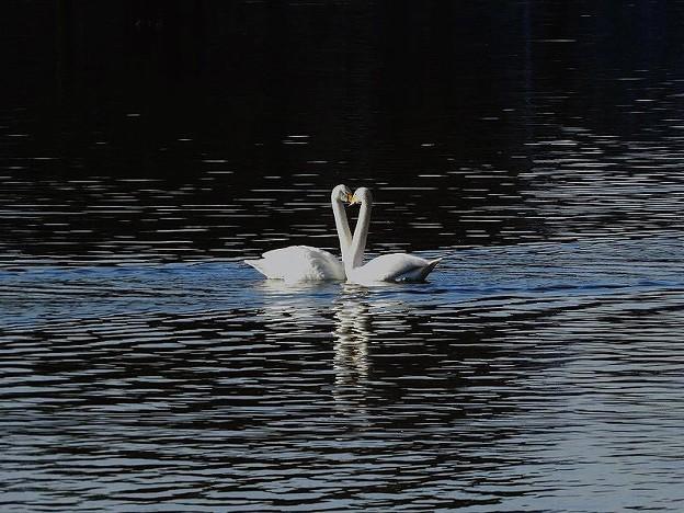 白鳥ハート