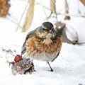 Photos: ハチジョウツグミ (1)